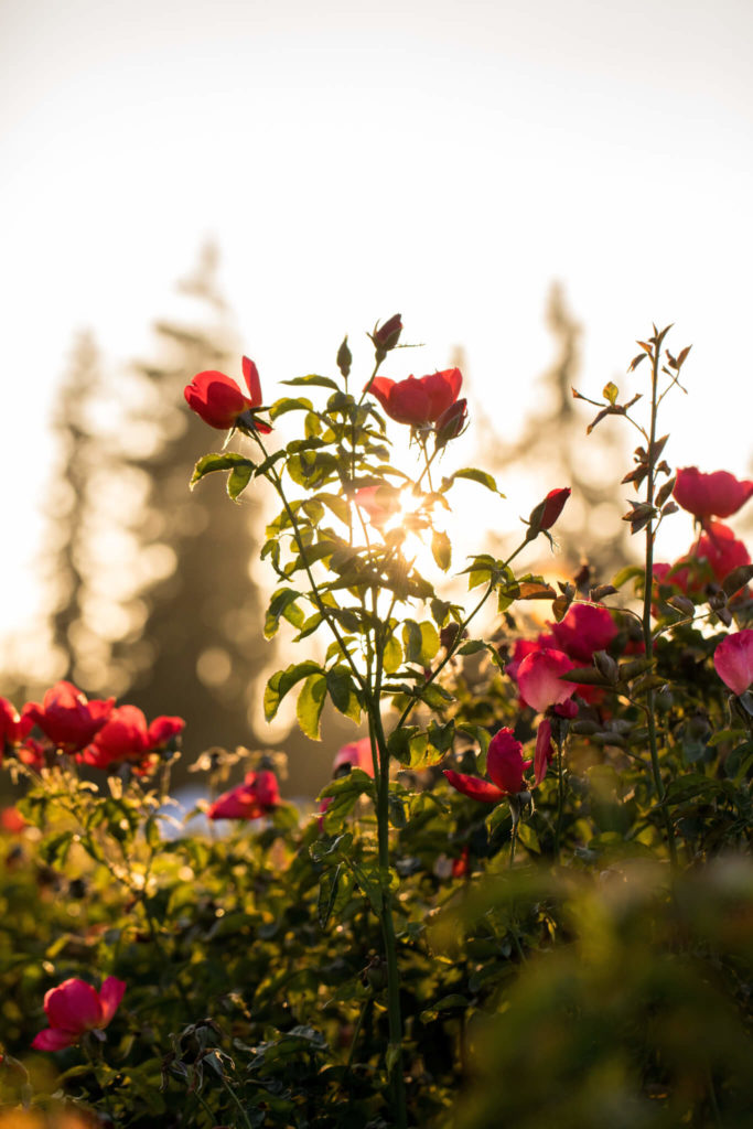 Rose Extract: How the Flowers of Love Benefit Skin Health